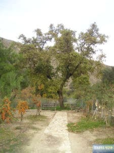 'Immergrüne Platane' von Gortis