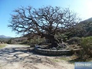 Alter Baum vor dem Kloster