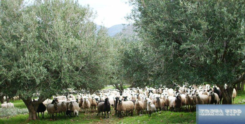 Schafe und Olivenbäume