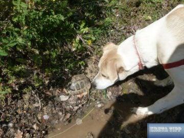 wilde Schildkröte